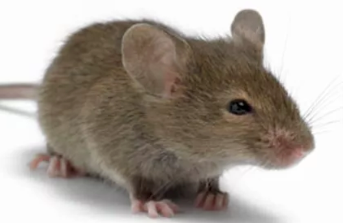mouse rodent extermination fox valley environmental pest control elgin illinois
