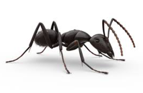 ant removal fox valley environmental pest control elgin illinois
